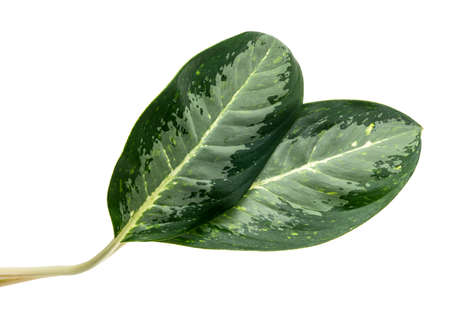 Chinese evergreen foliage Aglaonema 'Golden Bay' leaves, Exotic tropical leaf, isolated on white background with clipping path
