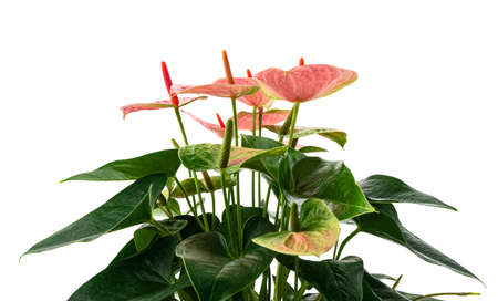 Flamingo flower or Anthurium sweet dream plants with flowers and leaves isolated on white background, with clipping path