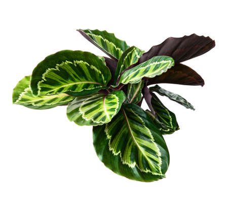 Calathea roseopicta 'Illustris' foliage, Rose-painted calathea plant, Exotic tropical shrubs, isolated on white background with clipping path