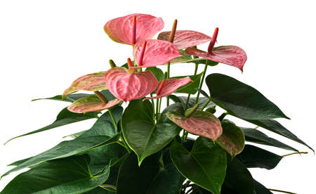 Flamingo flower or Anthurium sweet dream plants with flowers and leaves isolated on white background, with clipping path Stock Photo
