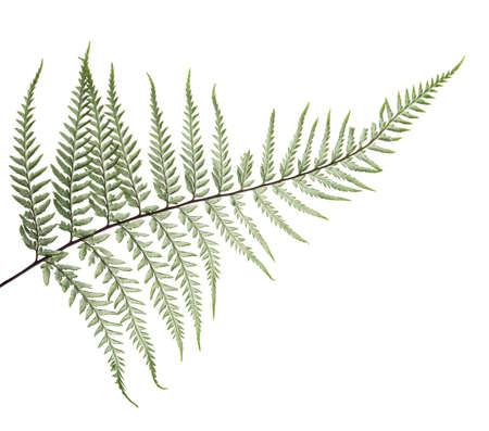 Fern leaf, Ornamental foliage, Fern isolated on white background, with clipping path