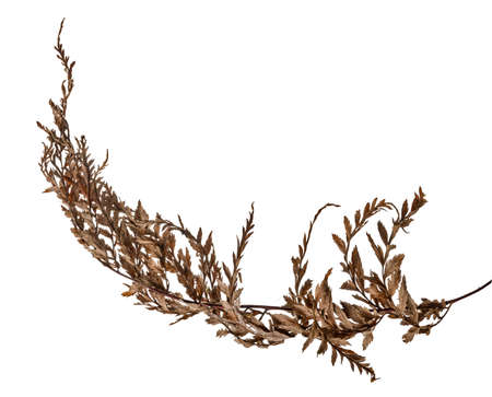 Fern leaf, Sear fern isolated on white background, with clipping path Фото со стока