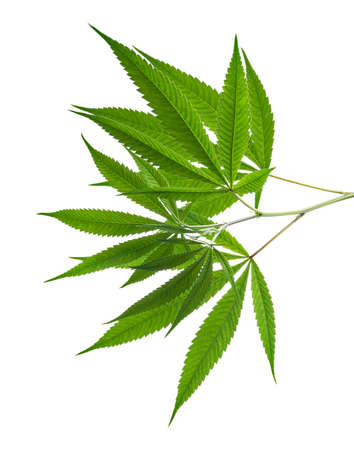 Cannabis leaf, Marijuana leaves on branch isolated on white background with clipping path