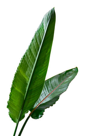 Strelitzia reginae leaves, Bird of paradise plant, Tropical flower isolated on white background, with clipping path