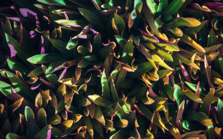 Tradescantia spathacea, Boat lily plant background, Leaf texture background Фото со стока