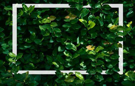 Ficus pumila texture background, Creeping fig plant background with White frame, Flat lay, Nature concept Фото со стока