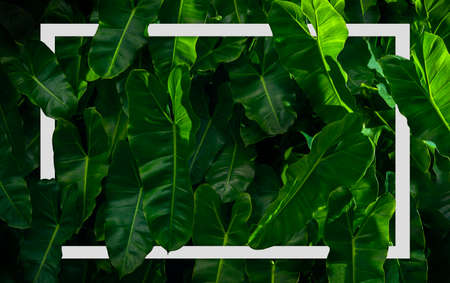 Philodendron imbe plant background with White frame, Flat lay, Nature concept Фото со стока