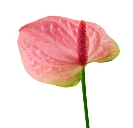 Flamingo flower, Anthurium sweet dream flower isolated on white background