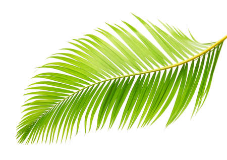 Yellow palm leaves or Golden cane palm, Areca palm leaves, Tropical foliage isolated on white background Фото со стока
