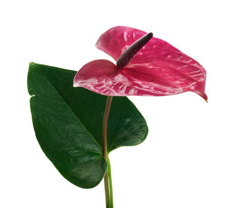 Flamingo flower or Anthurium utah plants with flowers and leaves isolated on white background Stock Photo