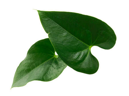 Anthurium leaves, Green leaf isolated on white background, with clipping path