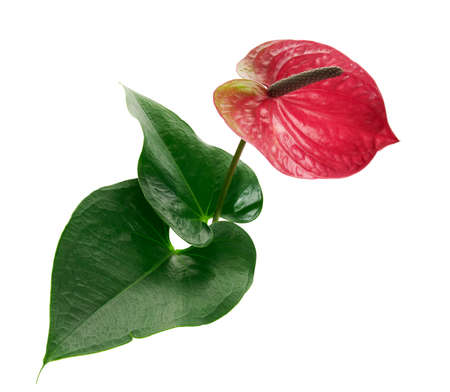 Flamingo flower or Anthurium utah plants with flowers and leaves isolated on white background, with clipping path