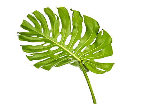Monstera deliciosa leaf or Swiss cheese plant, isolated on white background, with clipping path