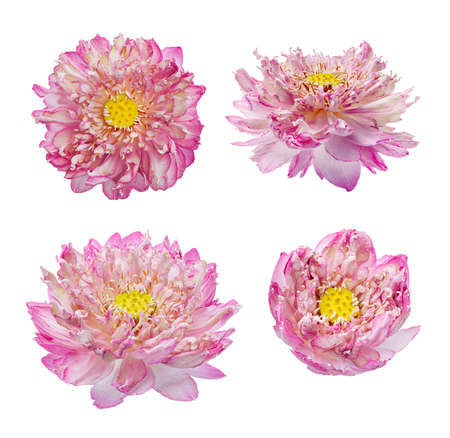 Set of Lotus flower, Close up of Pink lotus flower blooming isolated on white background with clipping path, Top view
