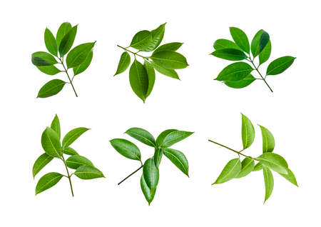 Green leaves, Small green foliage on twig isolated on white background with clipping path