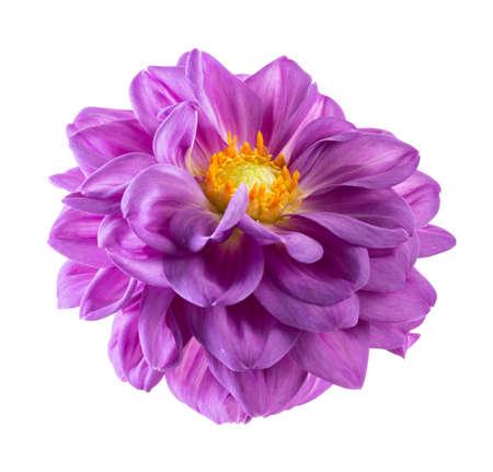 Dahlia flower, Purple dahlia flower isolated on white background
