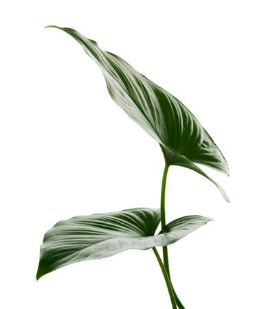 Homalomena foliage, Green leaf isolated on white background, with clipping path