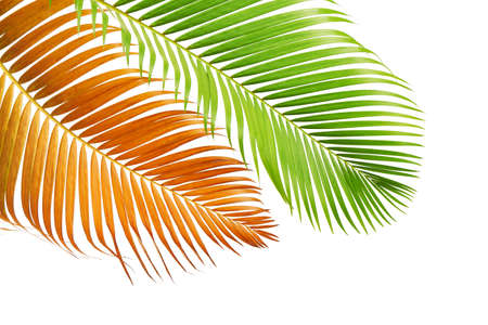 Yellow palm leaves or Golden cane palm, Areca palm leaves, Tropical foliage isolated on white background