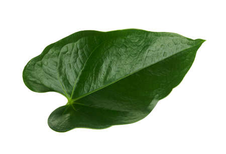 Anthurium leaves, Green leaf isolated on white background