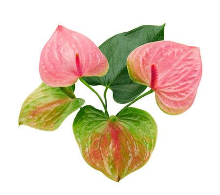 Flamingo flower, Anthurium sweet dream flower isolated white background,
