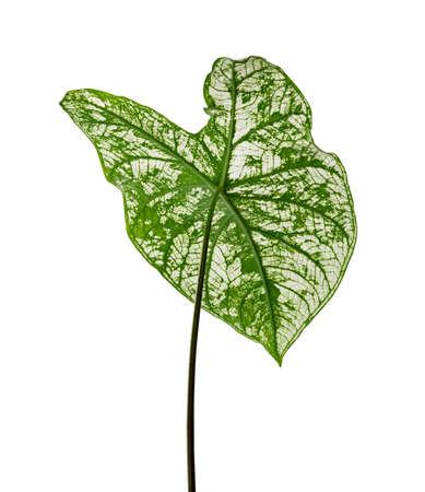 Caladium bicolor leaves, White caladium foliage isolated white background,