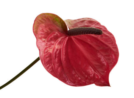Flamingo flower with leaves, Anthurium utah flower isolated on white background, with clipping path