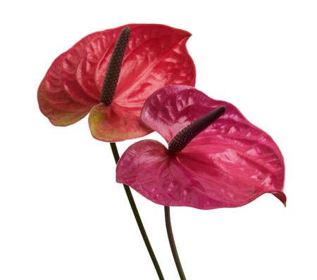 Flamingo flower, Anthurium utah flower isolated on white background