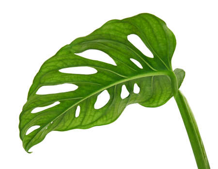 Monstera obliqua leaves, Tropical foliage isolated on white background