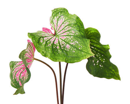 Caladium bicolor with pink leaf and green veins, Pink Caladium foliage isolated on white background