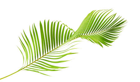 Yellow palm leaves or Golden cane palm, Areca palm leaves, Tropical foliage isolated on white background 版權商用圖片