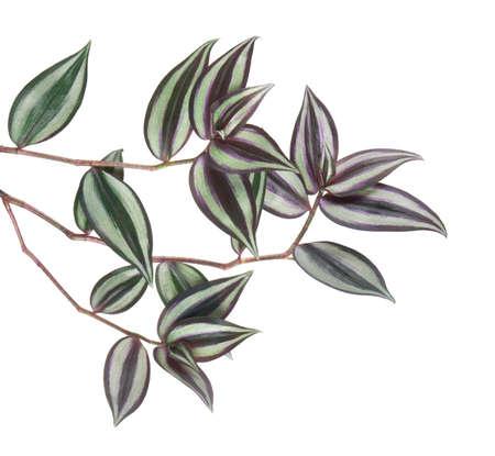 Tradescantia zebrina leaves, Inchplant foliage, Exotic tropical leaf, isolated on white background 版權商用圖片
