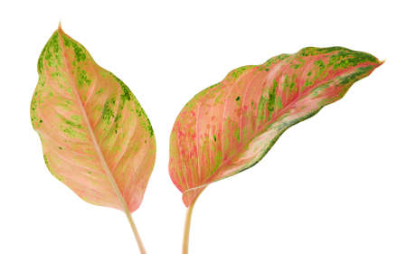 Aglaonema foliage, Pink aglaonema leaves, Exotic tropical leaf, isolated on white background