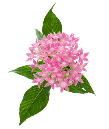 Pentas lanceolata flower, Egyptian star flower, Pink flowers with leaves isolated on white background 版權商用圖片