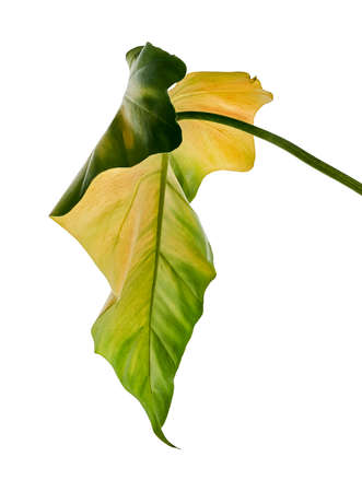 Philodendron giganteum leaf, Giant philodendron isolated on white background