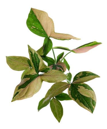 Pink Syngonium podophyllum leaves, Pink arrowhead shaped foliage, Arrowhead Ivy isolated on white background