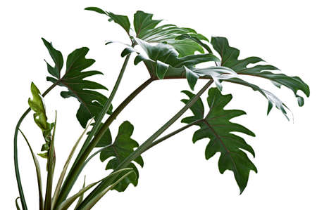 Philodendron Xanadu, Xanadu leaves  isolated on white background 版權商用圖片