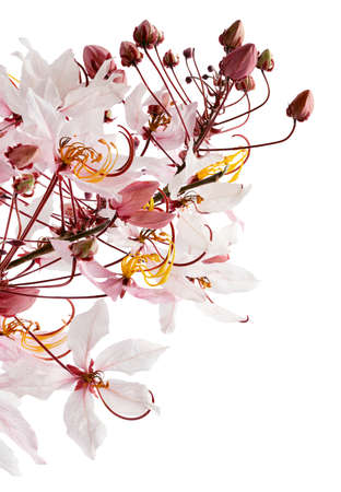 Cassia bakeriana, Pink shower tree, Pink flowers isolated on white background