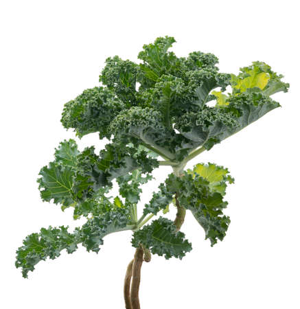 Curly kale or Organic blue curled scotch kale, Kale plant isolated on white background