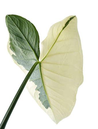 Caladium bicolor leaves, Caladium foliage isolated on white background 版權商用圖片
