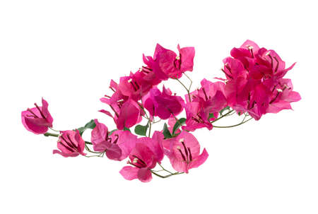 Bougainvillea flower, Paperflower, Pink Bougainvillea flower isolated on white background
