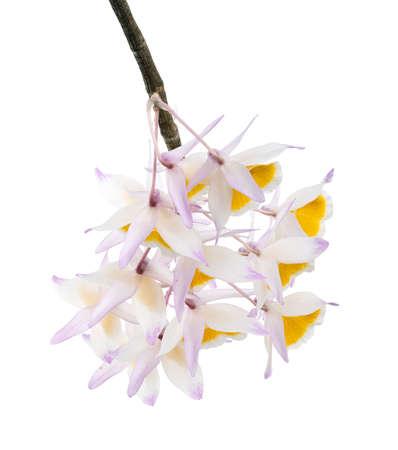 Dendrobium thyrsiflorum orchid, Pinecone-like raceme dendrobium, Dendrobium orchid isolated on white background