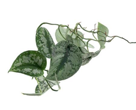 Scindapsus pictus leaves, Satin Pothos plant, Exotic foliage isolated on white background 版權商用圖片