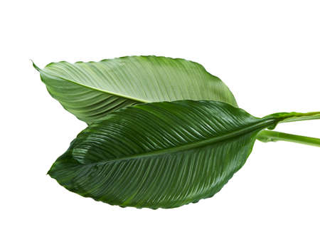 Large leaves of Spathiphyllum, Peace lily, Tropical foliage isolated on white background Stock Photo