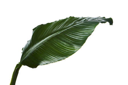 Large leaves of Spathiphyllum, Peace lily, Tropical foliage isolated on white background