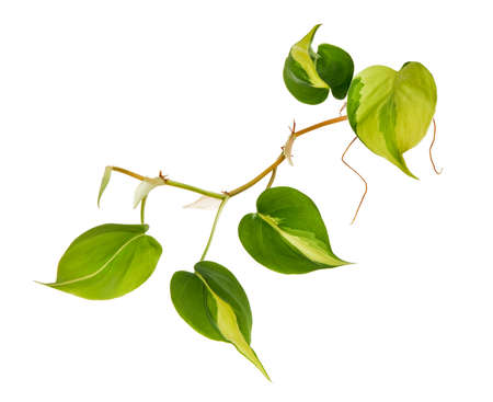 Philodendron Brasil leaves, Philodendron hederaceum plant, isolated on white background, with clipping path