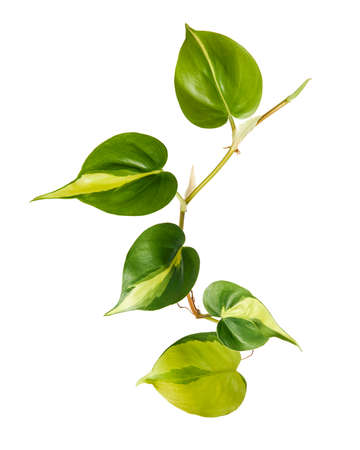 Philodendron Brasil leaves, Philodendron hederaceum plant, isolated on white background, with clipping path Stock Photo