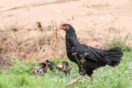 black hen in chicken coop amongst other chickens on soft background