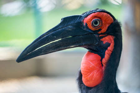 southern: Southern ground hornbill