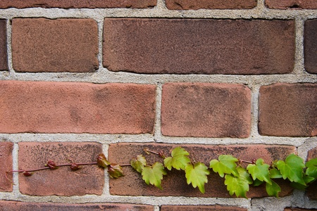 ivy wall: Young Ivy on Brick Wall Stock Photo