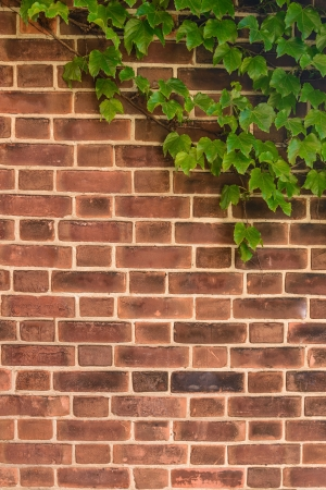 ivy wall: Red-brown Brick Wall with Ivy